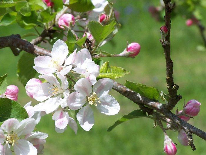 Цветы яблони фото